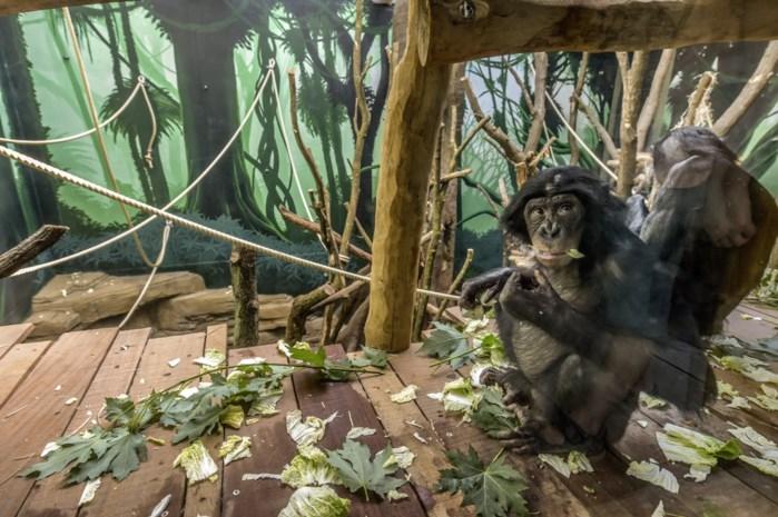 """Ook in onze dierentuinen schuilt gevaar van coronavirus: """"Verzorgers van mensapen dragen mondmasker"""""""