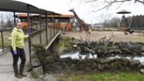"""Pakawi Park maakt van uitstel seizoenstart gebruik om tijgerverblijf af te werken: """"Veel mensen bieden ons nu hulp aan via donaties en peterschappen"""""""