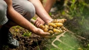 """Ook aardappelsector in problemen door corona: """"Tot een miljoen ton aardappelen zal moeten worden vernietigd"""""""