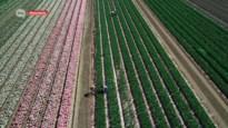 Corona of niet, de tulpenvelden in Meerdonk staan weer prachtig in bloei