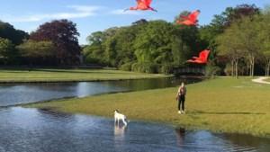 Rode ibissen uit Planckendael gespot in Brasschaat