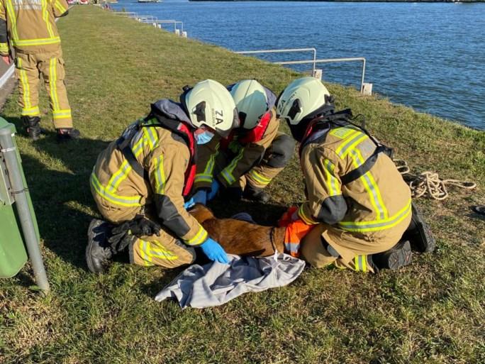 Brandweer redt jonge ree uit Albertkanaal