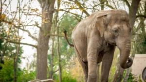 """Planckendael neemt afscheid van Dumbo: """"Mei lijkt echt een vervloekte maand voor de olifanten"""""""