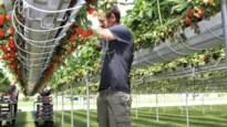 """Tomatenkweker breidt assortiment uit met """"lekkerste aardbei die er is"""""""