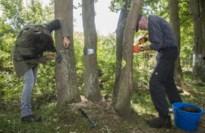 Vrijwilligers De Liereman proberen beschadigde eiken te redden met houtschijfjes en veenmos