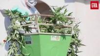 Buurt neemt cannabisgeur waar: politie ontdekt plantage in Zandvekenvelden