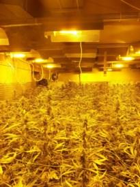 Albanezen die in cannabisplantage werden aangetroffen zijn aangehouden