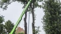 Processierupsenplaag lijkt verleden tijd in Zevendonk: preventieve behandeling eikenbomen slaat aan