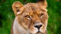 """Leeuwin in Antwerpse Zoo overleden: """"We gaan haar enorm missen"""""""