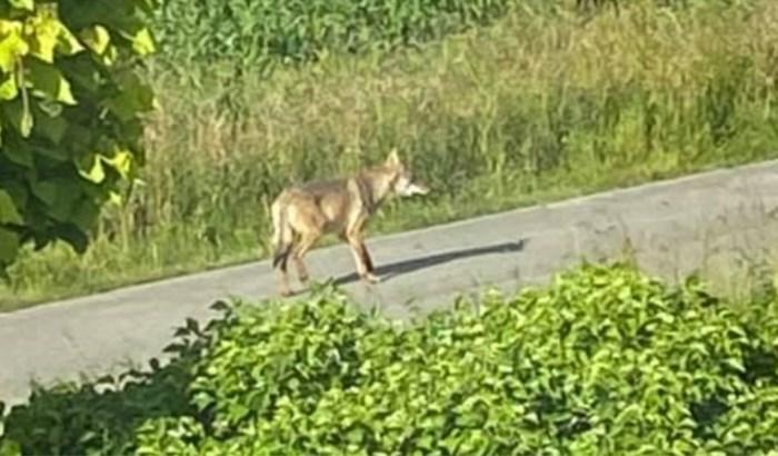 """Marie kon wolf filmen: """"Ik zag hem zaterdag al, maar toen dacht ik dat het de scheper van de buren was"""""""