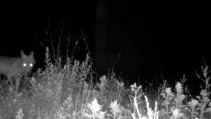 'Wolf van Duffel' gespot op jaagpad langs Albertkanaal en onder snelweg E313