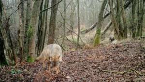 Het ABC van de wolf: kenners lossen 15 vragen op over meestbesproken diersoort van de week