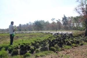 """350 schapen grazen drie weken lang in De Liereman: """"Eerst waren ze wit, nu zijn ze grijs door de assen"""""""