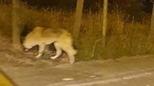 Tientallen meldingen, maar 'Wolf van Vorselaar' blijkt een hond te zijn