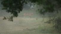 Wolf Billy beet vlak na ongeval mogelijk weer twee schapen dood
