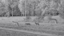 """Eerste beelden van wolvenwelpen in ons land: """"Vier kleine boefjes!"""""""