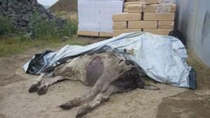 Wolf dringt stal binnen en valt zieke koe aan in Retie