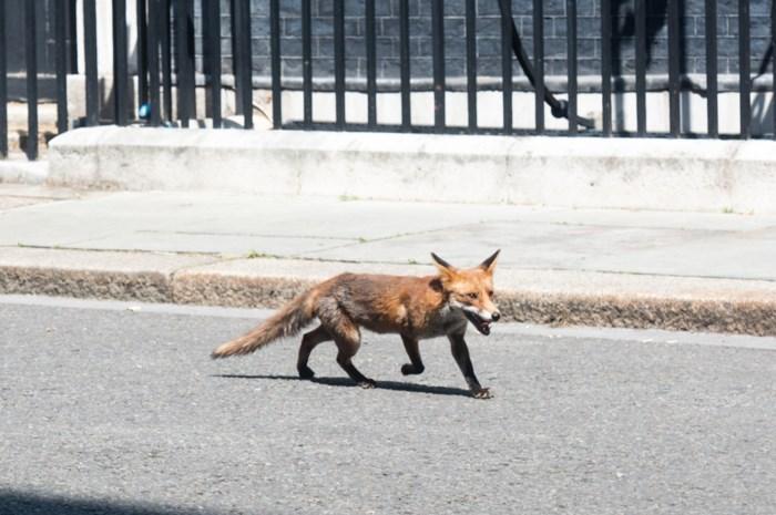 Wolven beheersen het nieuws, maar vossen zitten werkelijk overal: zelfs gespot op de Meir