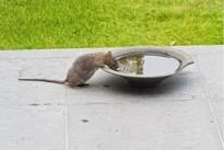 H-Eerlijk Zoersel wil dat gemeente rattenplaag actiever bestrijdt