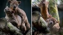 Vier fossa's geboren in Pakawi Park