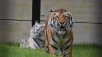 Pakawi Park opent nieuwe stek voor tijgers