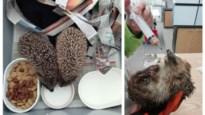 Dierenopvangcentrum zoekt malse kattenbrokken voor… egeltjes