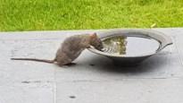 """CD&V'er vangt zeventig ratten in paar maanden tijd: """"Pak de plaag nu aan"""""""