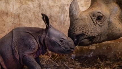 Indische neushoornbaby geboren in Planckendael