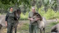 """Tussen de wilde konikpaarden in Oud-Turnhout: """"Als ze mogen kiezen tussen droog brood of biefstuk gaan ze voor biefstuk"""""""