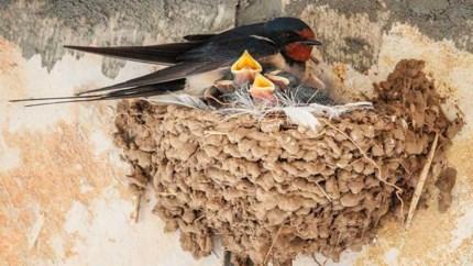 Subsidie voor wie meehelpt aan behoud zwaluwnesten