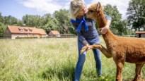 """""""Een alpaca is geen knuffeldier, dan koop je beter een puppy"""""""
