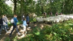 160 schapen met een missie stappen van ene landloperskolonie naar andere