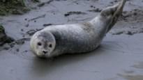 """Zeehondjes gespot aan de Schelde in Temse: """"De laatste tijd zien we ze steeds vaker"""""""