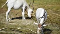 Antilopen ontsnappen uit verblijf: vierde ontsnapping in twee jaar voor Planckendael