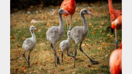 Babyboom bij flamingo's in Antwerpse Zoo: vier kuikens geboren
