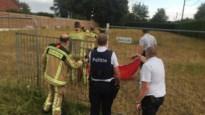 Schapen breken uit: brandweer vangt ze, maar één zwart schaap speelt verstoppertje