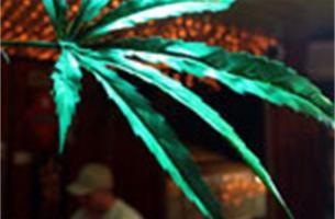 Eerste legale cannabisoogst in Antwerpen