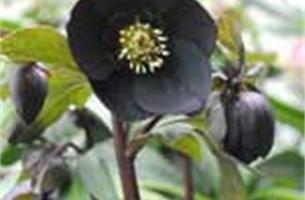 Helleborus is een meer dan prachtige bloem