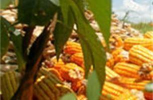 Drie verdachten van maïsdiefstallen opgepakt