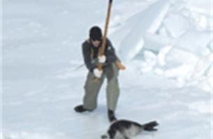 """""""Zeehonden worden nog steeds op gruwelijke wijze vermoord"""""""