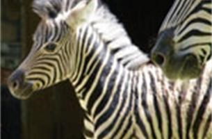 Antwerpse Zoo verwelkomt nieuwe zebra