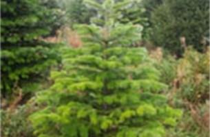 Dreigend tekort aan populaire kerstbomen