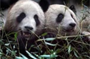 China zet panda's in als ambassadeurs