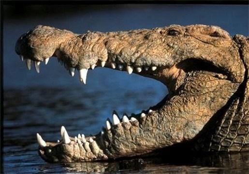 Taxichauffeur rijdt krokodil dood