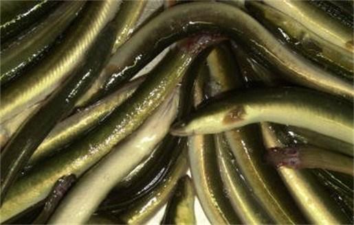 Nederland verbiedt vissen op paling voor 1 maand