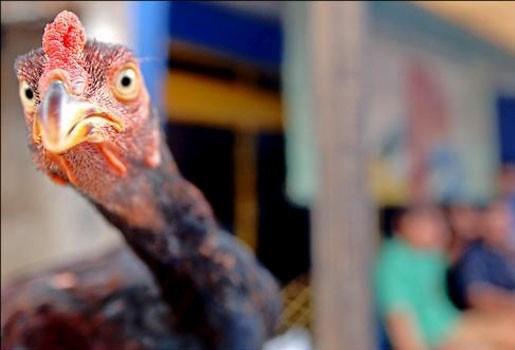 Restaurant serveert enkel maagdelijke kippen