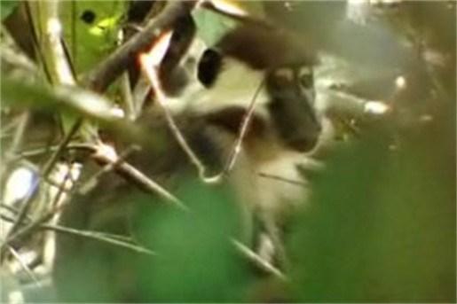 Gedrag weinig bestudeerde apen op camera vastgelegd