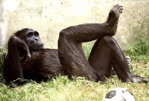 Chimpansee Pedro bijt vinger zoodirecteur af