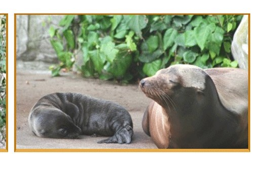 Schattig zeeleeuwtje geboren in Amsterdam