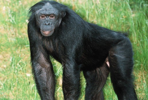 Bonobo overleden in Planckendael